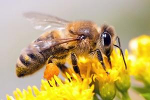 Апитерапия (Пчелоужаление)